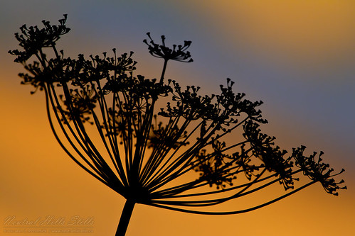 Sunset thru dill weed, July 31, 2010 | by McCormick Photography