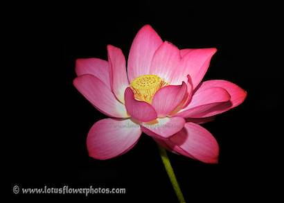 lotus flower    lotus flower pictures , lotus flower ima…  flickr, Beautiful flower