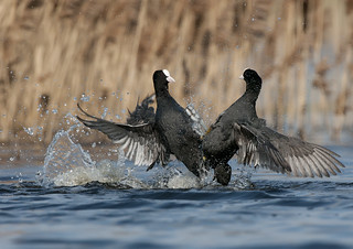 Coots Fighting | by Caesar2010