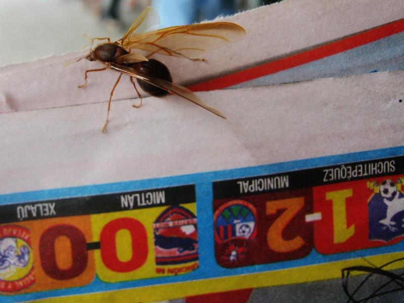 Sompopos De Mayo Huge Flying Edible Ants At The Beginnin Flickr