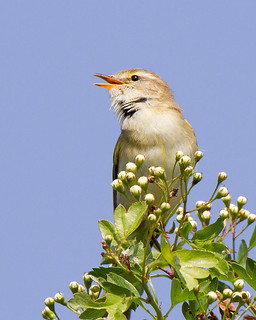 Willow Warbler Song | by Andrew Haynes Wildlife Images