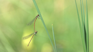 Large Red Damselfly pair | by brianfuller6385
