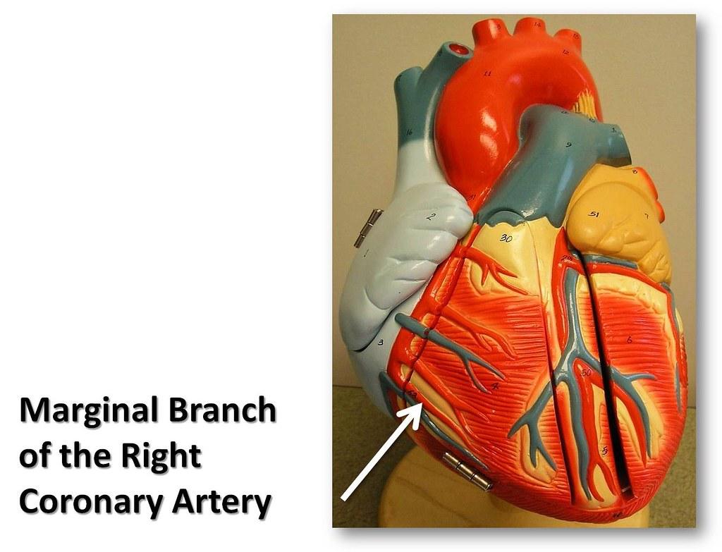 Marginal branch of the right coronary artery, anterior vie… | Flickr