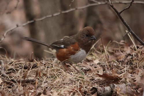 Eastern Towhee | by Birding In New Jersey