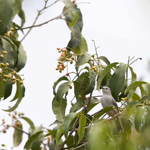 Red-winged Grey Warbler 3, Murchison Falls, 17 Mar 2011 | by michaelandhelencox