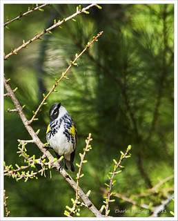 Yellow-rumped Warbler | by CharlesHastings