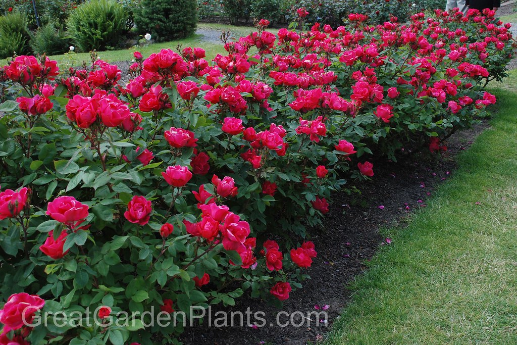 Ground-Cover Roses | Bayer Advanced