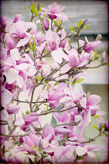 Pink Magnolia brings colour to the city. | by Tuppence 2009