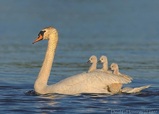 swan with Cygnets | by Nature's Photo Adventures - David G Hemmings