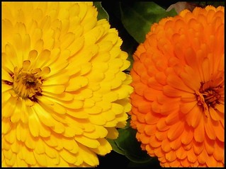 Two Calendulas | by freeedom1