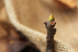 Fig Tree Bud | by Piccolo Takes All