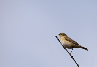 willow warbler | by j_wijnands