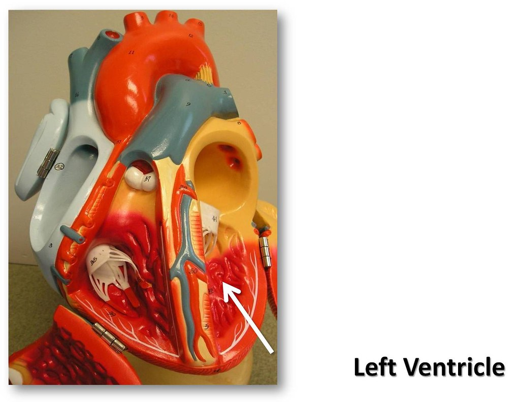 Left ventricle - The Anatomy of the Heart Visual Atlas, pa… | Flickr