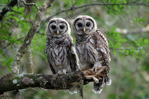 Barred Owl Pair at Myakka River State Park (Explore) | by Photomatt28