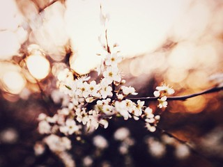 Cherry Blossoms ~ | by Yves.