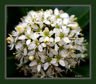 white skimmia | by berber hoving