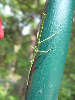 Stick insect | by pruss