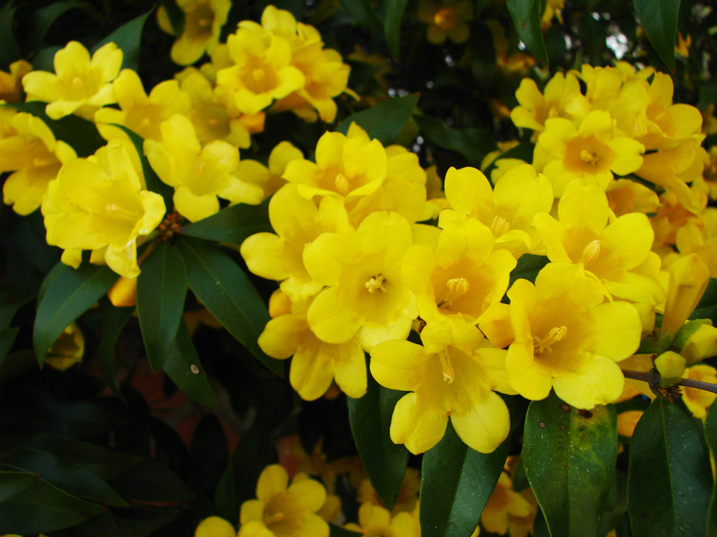 Yellow Jessamine State Flower Of South Carolina Boone Hall Flickr