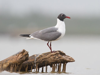 Laughing Gull | by Dan Pancamo