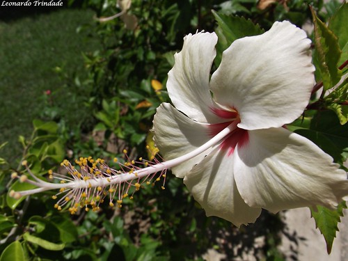 Hibisco | by Leo Trindade