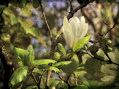 Sweet Magnolia | by Of Shadows and Light