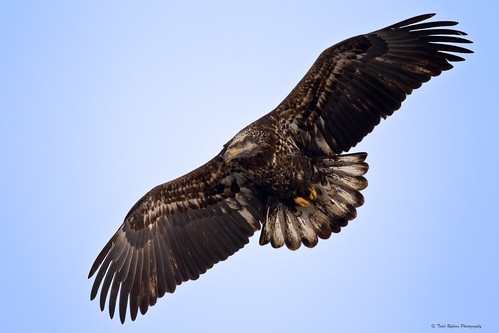 Juvenile Bald Eagle with it's wings spread | by Todd Ryburn