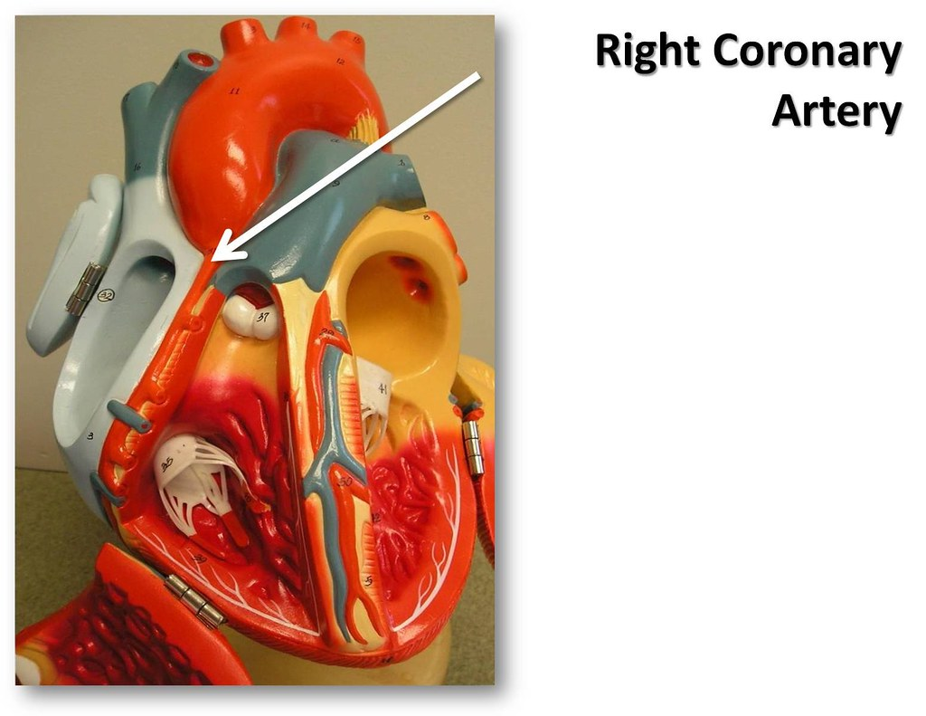 Right Coronary Artery The Anatomy Of The Heart Visual At Flickr