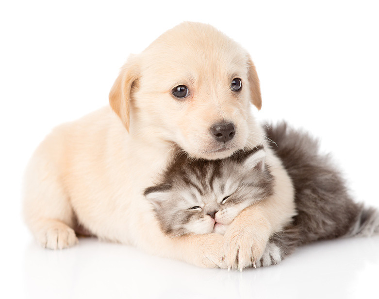 Golden Retriever Puppy Dog Hugging British Cat Isolated O Flickr