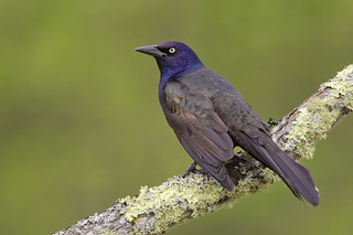 Lichen Branch Perched Grackle | by Jeff Dyck