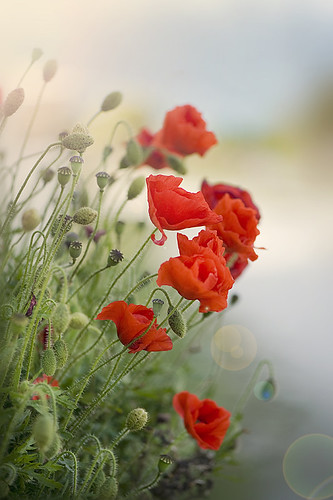 Poppy Haze | by Jacky Parker Flower Photography