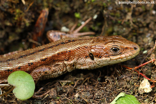 Male Common Lizard (more below) | by gcampbellphoto