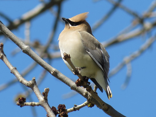 Cedar Waxwing ~ Bombycilla cedrorum IMG_0087 | by Jennz World