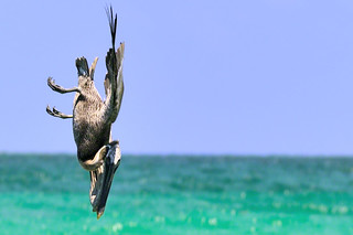 A pelican looking for a prey.... preparing its attack into the waves | Shian Ka' an reserve | Quintana Roo | Mexico | by Daniele Romeo