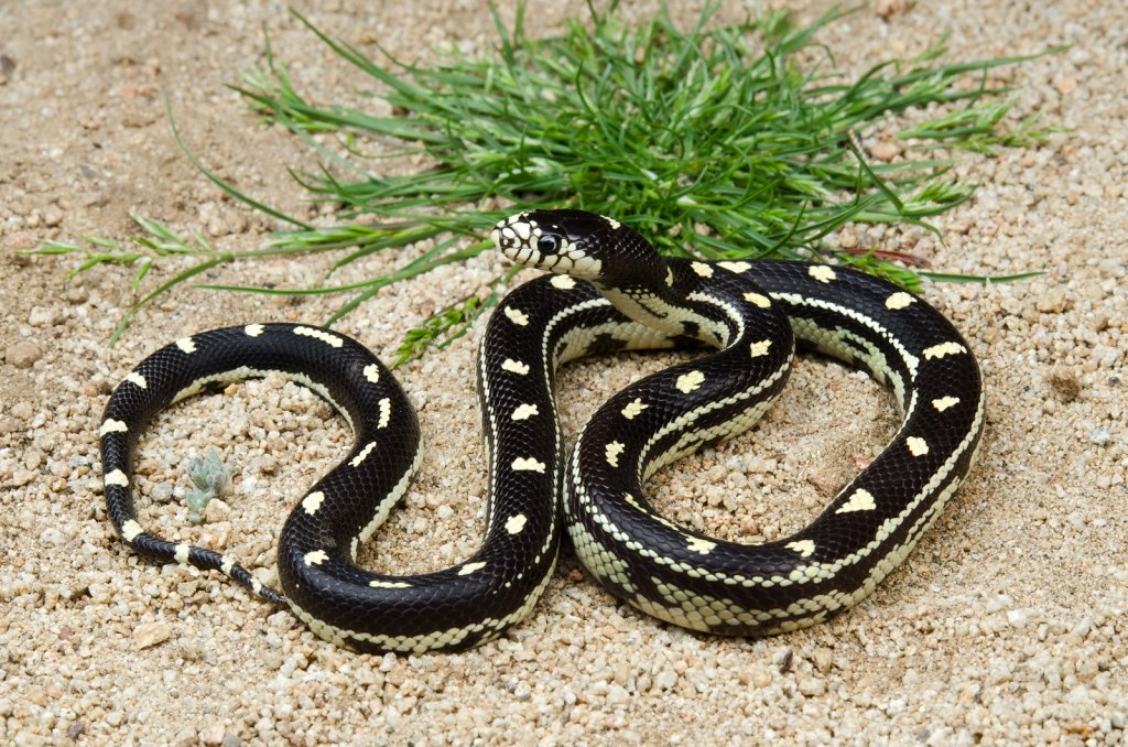California Kingsnake Boogie Woogie Dotted Morph Californ Flickr - California king snake morphs