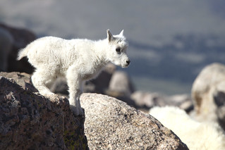 Mountain goat kid, thinking about jumping... | by dcstep