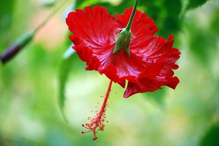 Red Hibiscus | by StGrundy