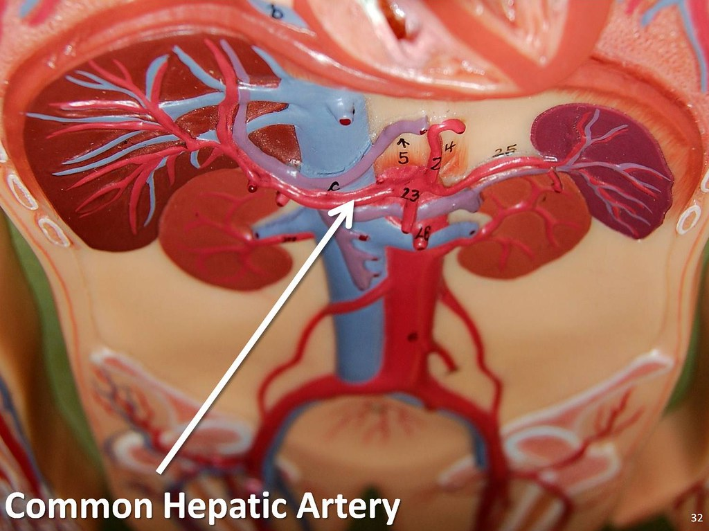Common hepatic artery - The Anatomy of the Arteries Visual… | Flickr