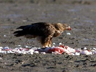 19 Eagles: Aquila rapax eating flamingo | by David Bygott