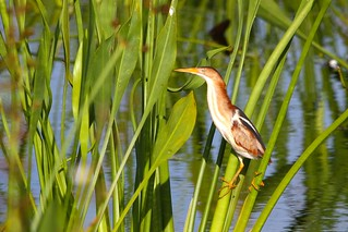 Least Bittern | by Florida Bird Pictures