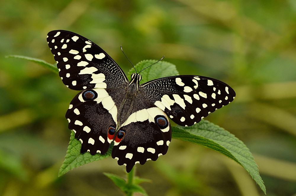 Image result for citrus swallowtail butterfly
