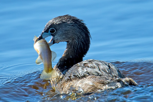 Pied-billed Grebe With Fish | by Brian E Kushner