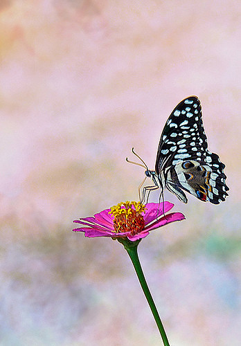 Citrus Swallowtail | by Rosita So Image