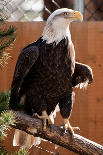 bald eagle | by Sam Scholes