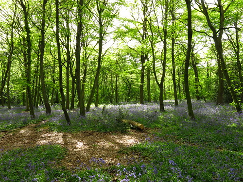 Bluebells in Wanstead Park
