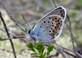 Silver Studded Blue Male | by Garry1968