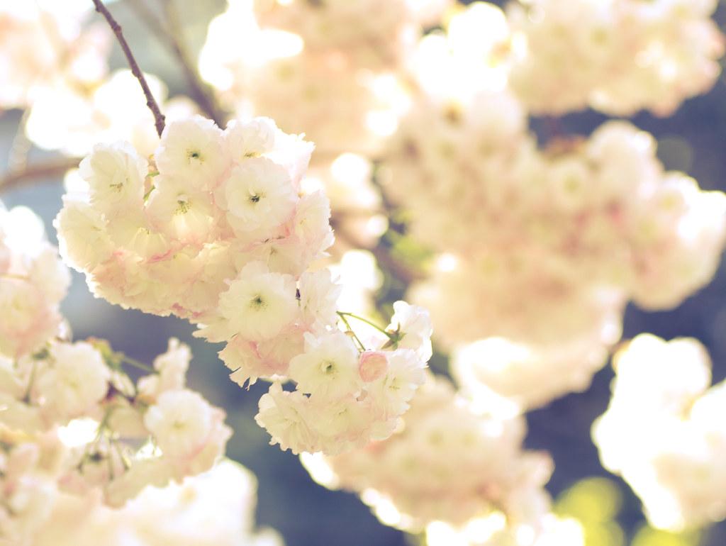 White Puffy Flowers Kaytee Riek Flickr