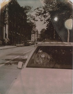 Tiger in a Cadillac | by anniebee