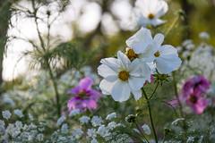 Flowers  - hundkäx och rosenskära