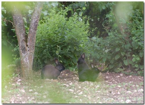 Trio de lapins sauvages au fond du jardin gillyan9 flickr for Au fond du jardin
