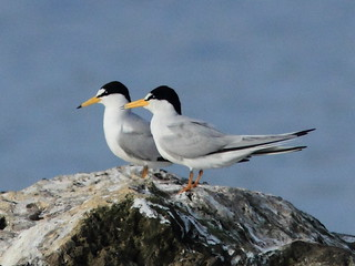 Least Terns 5-20120411 | by Kenneth Cole Schneider